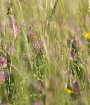 close up picture of summer hay field with clover, butter cups and wild grasses